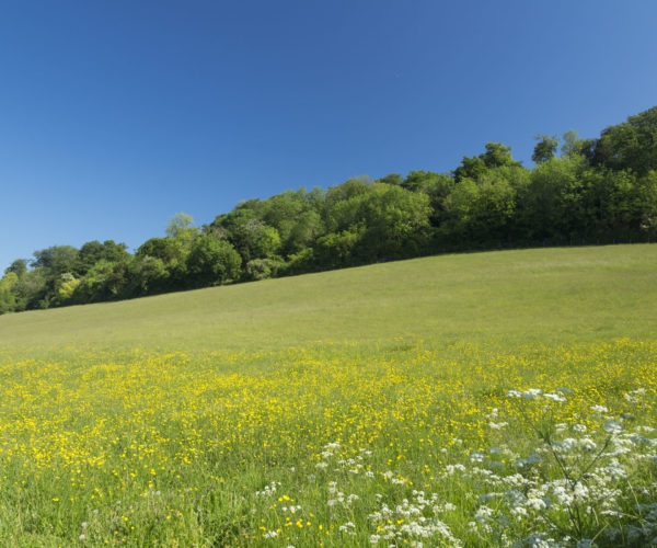 Green field with small yellow flowers and blue sky