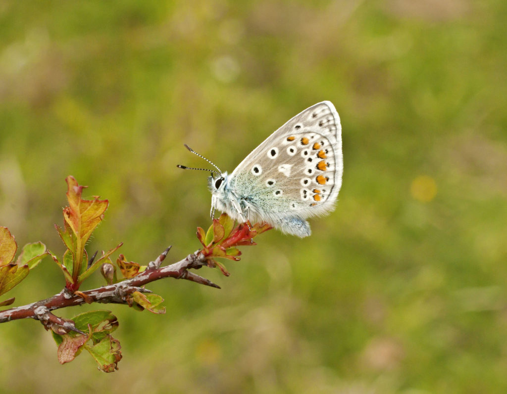 Butterfly Conservation at White Hill Reserve Shoreham