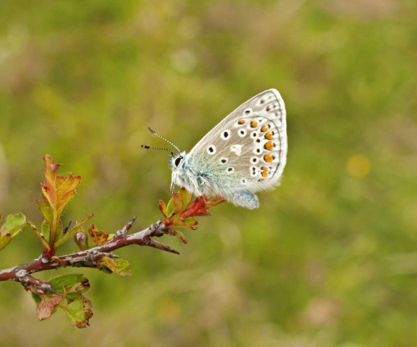 Common blue butterfly on branch