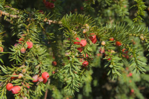 Red berries on pine tree