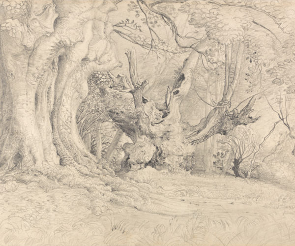 Sketch of wide old trees